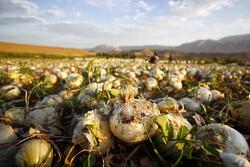 بیش از  ۴۷ هزار تن پیاز از مزارع کشاورزی شهرستان سرباز برداشت شد
