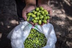 گیلان کے باغات سے زیتون جمع کرنے کی فصل کا آغاز