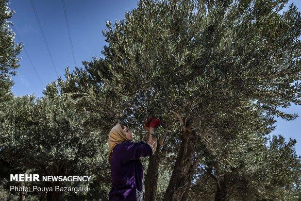 Olive harvest in Rudbar, N Iran
