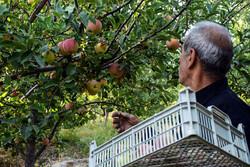 کشتبیش از ۲۰۰۰ هکتار باغات مثمر در اراضی شیبدار لرستان
