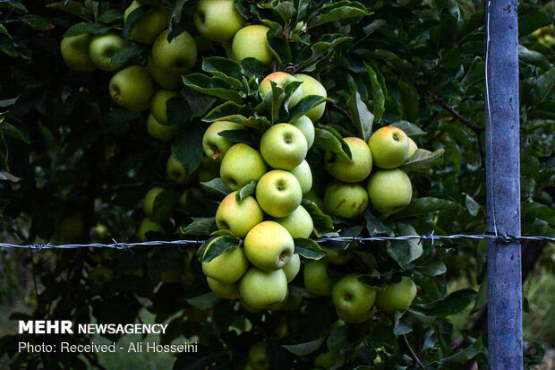 برداشت سیب از باغات «کاکارضا» لرستان
