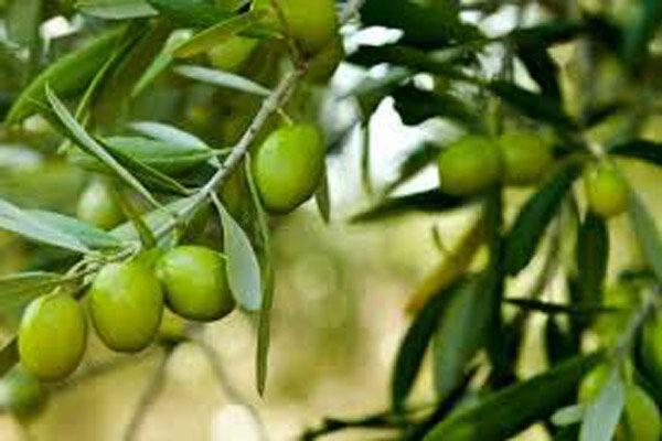 توان افزایش عملکرد باغات زیتون تا ۱۲تن در هکتار