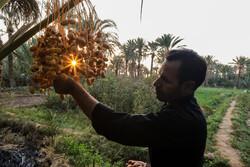 """جني التمور من مزارع النخيل في منطقة """"بافق يزد"""" /صور"""