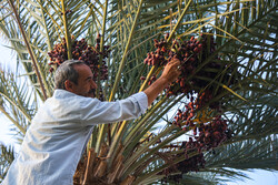 Date harvesting in Yazd