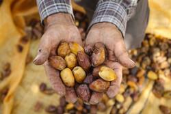 Yezd eyaletinde hurma hasadı başladı
