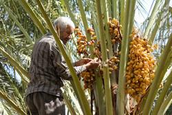 یزد میں کھجور اور خرما جمع کرنے کی فصل کا آغاز