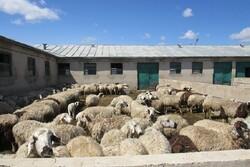 دامپزشکی قزوین در خصوص شیوع بیماری تب برفکی هشدار داد