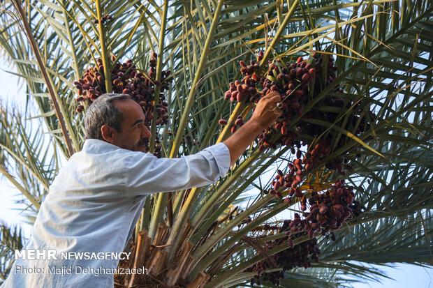 Date harvesting in Yazd