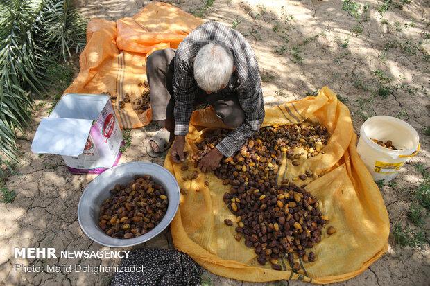 ریزش خوشه های خرما در فصل برداشت در جنوب کرمان