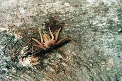 گونه کمیاب «عنکبوت شلاقی پارسی» در دزفول مشاهده شد