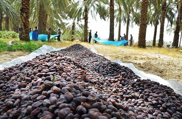 توسعه صادرات خرما از برنامههای مهم استان بوشهر است