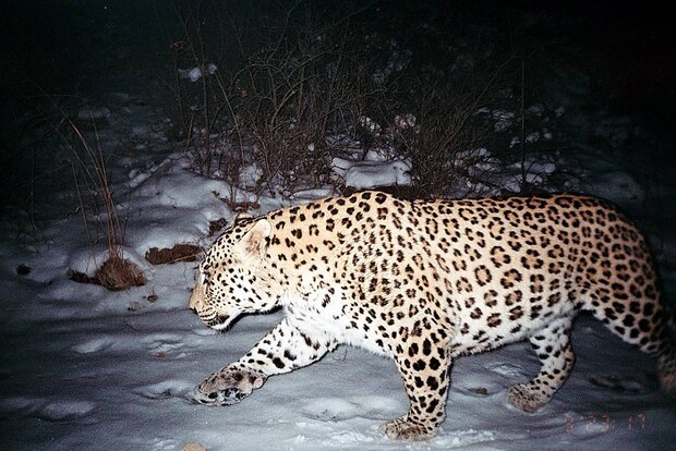 Persian leopard's global range
