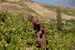 صوبہ کردستان کے باغات سے سیاہ انگور جمع کرنے کی فصل کا آغاز