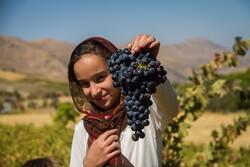 İran'da kara üzüm hasadı