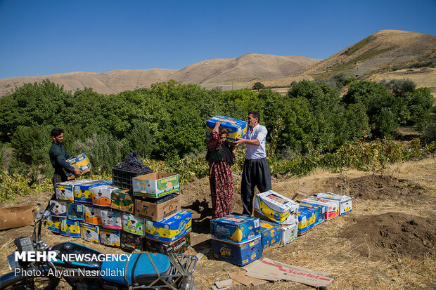 Harvesting black grapes in Kordestan province