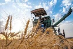 ۳۰۴هزار تن گندم از کشاورزان مرکزی خریداری شد/ خرید تضمینی گندم تا پایان مهر