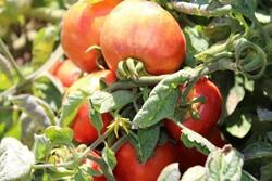 Rus üreticiler Türkiye'den domates ithalatına yasak istiyor