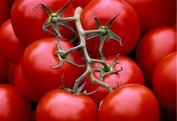 ۱۰ درصد گوجه فرنگی کشور از طریق گلخانه تولید میشود