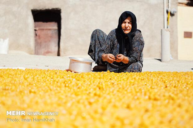 استحصال آلو در روستای ملحمدره شهرستان اسدآباد