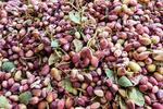 تاجران اروپایی در بازار پسته ایران/ رونق تولید در باغ های رفسنجان