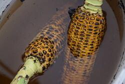 Corn selling in Heyran Pass