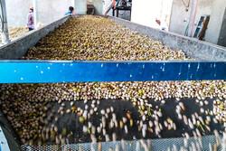 Harvesting, processing pistachios in Sirjan
