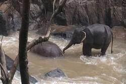 6 fil birbirini kurtarmak isterken öldü!