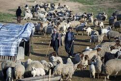 ۷۳ هزار تن محصول دامی توسط عشایر آذربایجانغربی تولید می شود