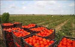 کشت گوجهفرنگی در ۸۰۰۰ هکتار از مزارع کرمانشاه