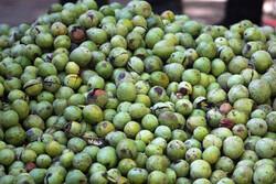 تولید ۳۰ درصد از محصول گردوی لرستان در باغات شهرستان سلسله