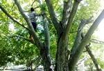 کشاورز عجبشیری در اثر سقوط از درخت گردو جان باخت