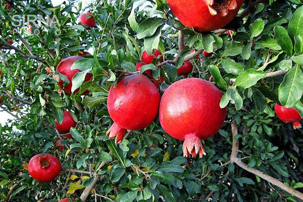 برداشت انار از باغات شهرستان قزوین آغاز شد