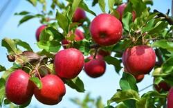 سیبهاروی دست کشاورزان اهری ماند/صنایع تبدیلی حلقه مفقوده سیب اهر