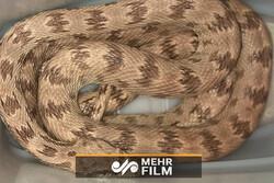 تھائی لینڈ میں 4 میٹر لمبے زندہ اژدہا کو زندہ پکڑ لیا