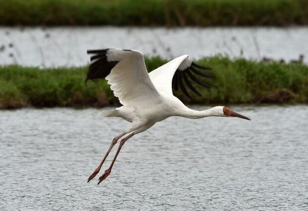 Last Siberian crane wings its way back to Iran