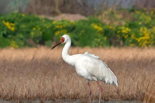 Last Sibrian crane 'Omid' returns to Iran for cold season