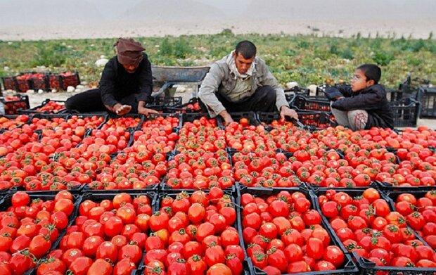 خرید تضمینی بیش از ۷۱ هزار تن گوجه فرنگی در کرمانشاه