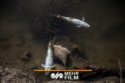 علت تلف شدن ماهیان در رودخانه قره سو چیست؟