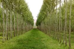زراعت چوب در ۴۰۰۰ هکتار از جنگل های مازندران انجام می شود