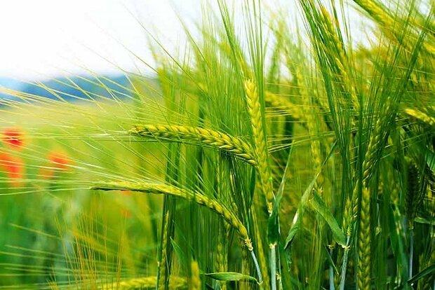 کاهش قیمت بذر گندم در کرمانشاه