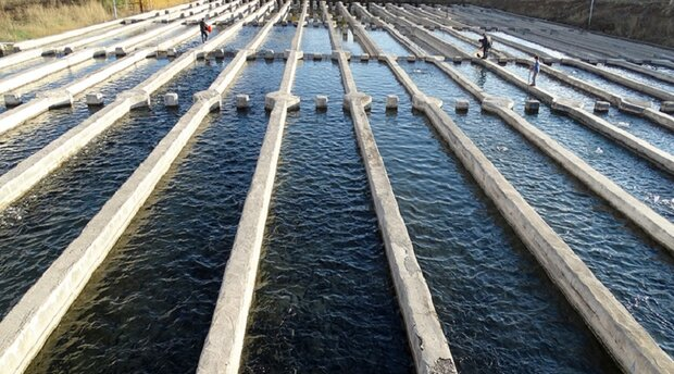 فعالیت ۴۵۶ مزرعه پرورش ماهی در کرمانشاه