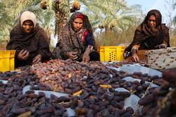 Growers harvesting Piarom date in Hormozgan