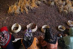 صوبہ ہرمزگان میں خرما جمع کرنے کی فصل کا آغاز
