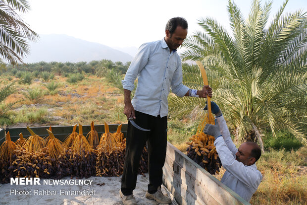 Growers harvesting Piarom dates in Hormozgan