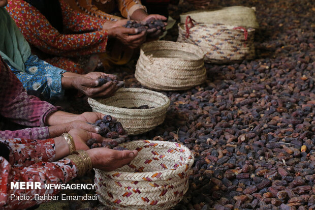 Growers harvesting Piarom date in Hormozgan