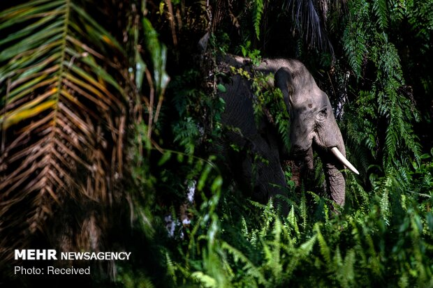 تلاش برای نجات فیل های بورنئو