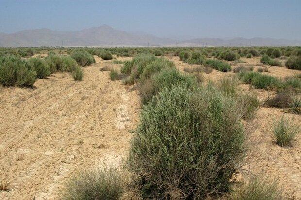 کاشت ۱۵۰ هزار آتریپلکس در منطقه کوه نمک قم