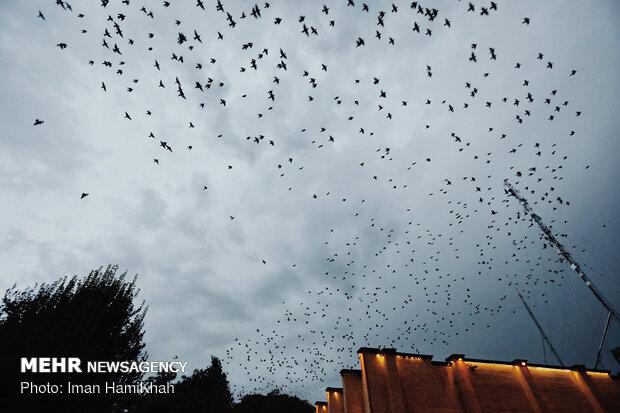 Flocks of birds in Hamedan's sky