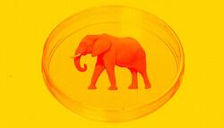 گۆشتی زەڕافە و فیل لە تاقیگە بەرهەم دێت