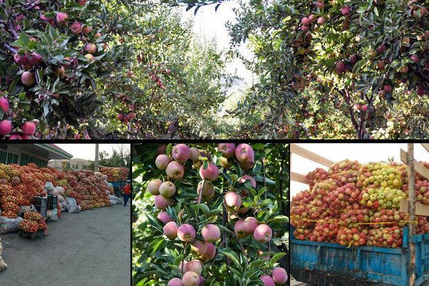 خرید حمایتی سیب پادرختی باغداران لرستانی